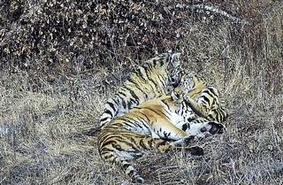 Тигриная семья проходит курс реабилитации в Приморье