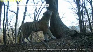 Тигра, похищавшего собак с погранзаставы, поймали специалисты в Уссурийске