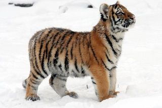 Власти и ученые Приморья опровергли данные о массовом нашествии тигров