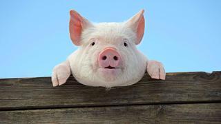 Уссурийск попал в угрожаемую зону по заболеванию африканской чумы свиней
