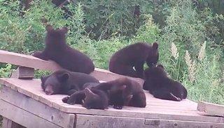 9 гималайских медвежат-сирот выпустили из реабилитационного центра в природу
