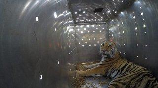 Тигры, выловленные в Уссурийском районе, обживаются в заповеднике Приамурья