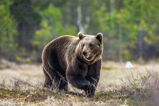 Медведь напал на охотника в лесу под Уссурийском