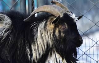 Умер козел Тимур