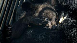 В Уссурийске спасли от собак бродившего по дачам гималайского медвежонка