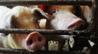 В Приморском крае обнаружены очаги африканской чумы свиней