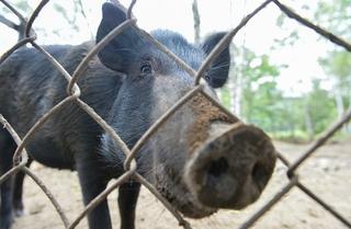 Одну вспышку африканской чумы свиней ликвидировали в Приморье