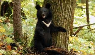Эй, Мишка! Жители Приморья повстречали гималайского медведя в лесу