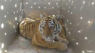 В Приморье отловили тигрицу, которая убивала собак в Хасанском районе