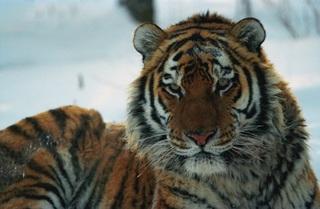 В тайге погибла молодая тигрица