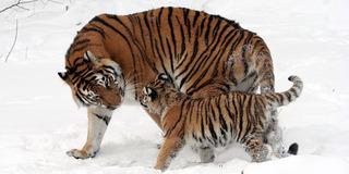 Экологи провели сбор информации для диагностики заболеваний у тигрицы Путина и ее тигрят