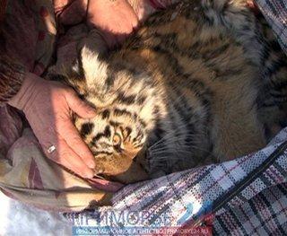 Охотники подобрали годовалого тигренка