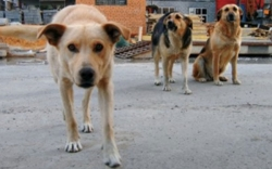 Бродячие собаки терроризируют Приморье