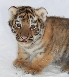 Спасенного в Приморье тигренка передали «Специнспекции «Тигр»