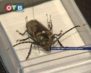 Ученые из Уссурийска выращивают реликтовых жуков в лабораториях